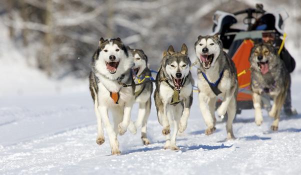 Traîneau à chien:  17 endroits pour vivre l'aventure