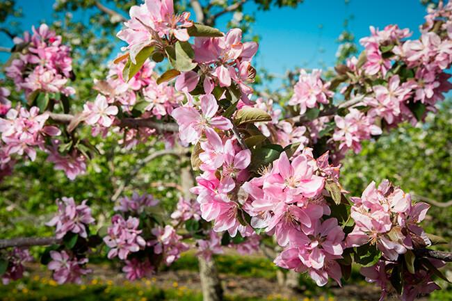Autocueillette de fleurs-Pommiers en fleurs