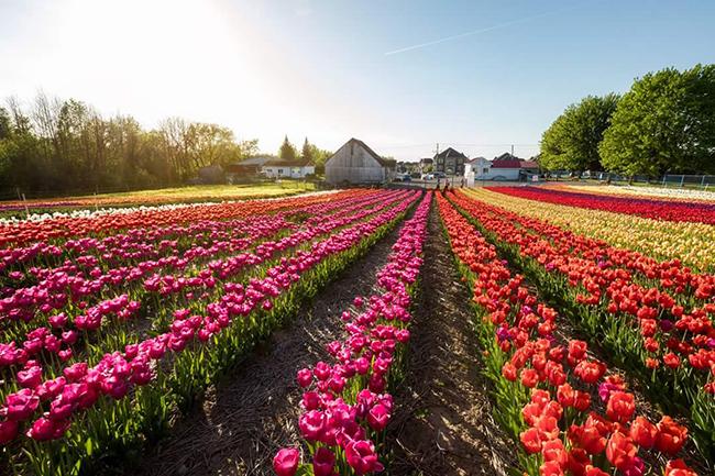 Fleurs Tulipes.ca monteregie