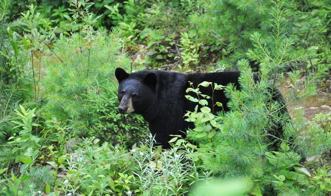 observation-Ours-noir-Tourisme Saguenay–Lac-Saint-Jean